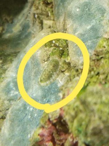 拡大したヒザラガイの稚貝