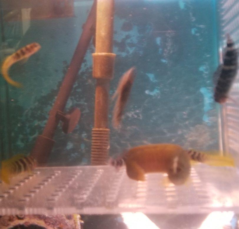 磯遊びで採れる魚数匹の隔離水槽