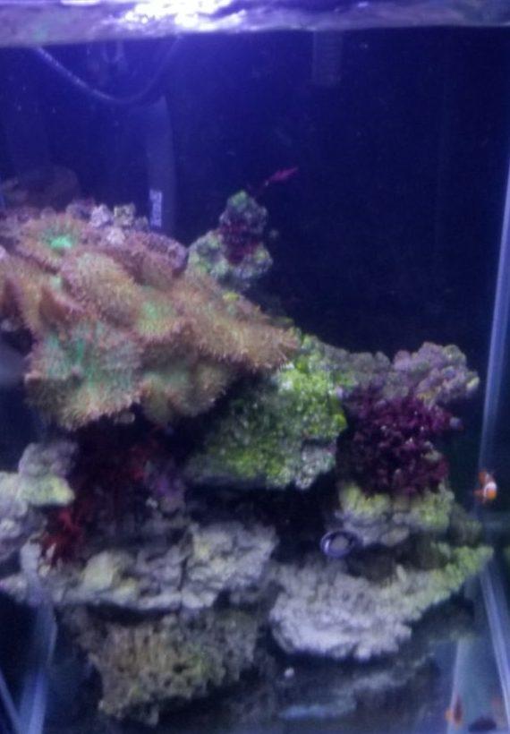 底砂無しサンゴと魚水槽
