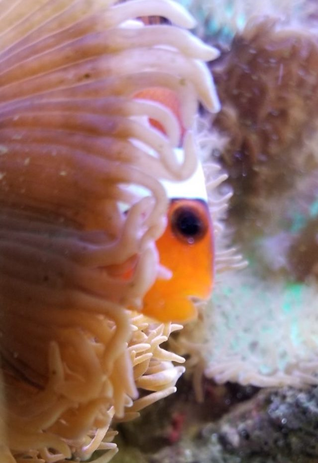 サンゴにカクレクマノミが入っている
