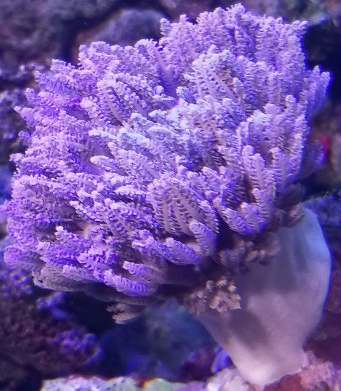 薄紫色のチガイウミアザミ